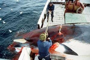 Norwegian whaling pix 03