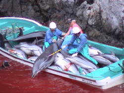 Taiji fishermen in boat loaded with dead dolphins