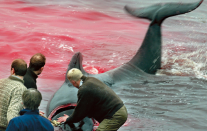 Whale being killed Faroes August 2012