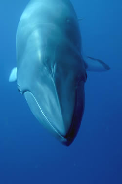 Please help us protect whales - Minke whale