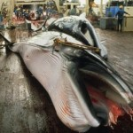 Japanese scientific whaling - dead minke whale on Nishhin Maru