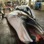 Japanese scientific whaling - dead minke whale on Nishhin Maru