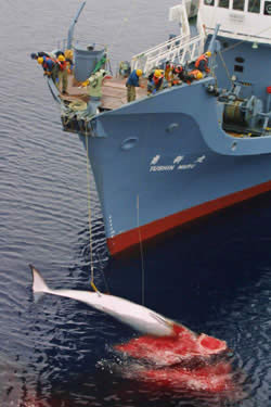 Japanese whalers hauling a dead whale onto their boat