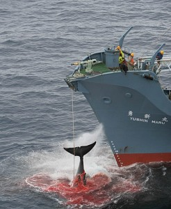 the-yushin-maru-catcher-ship-o